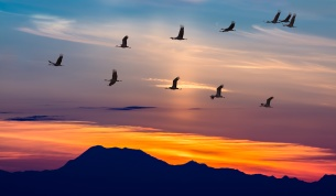 Sandhill Cranes in Flight at Sunrise Panoramic View
