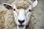SHEEP CLOSE UP.102015